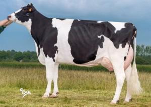 Diane, mère de Férival, 60kg de lait au moment de la photo