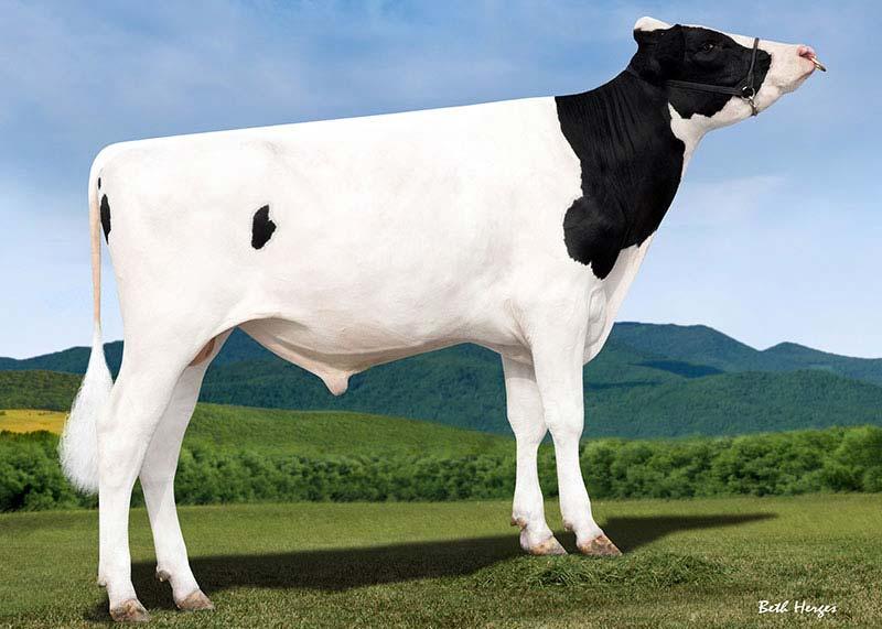 Taureau Prim'Holstein - Malcolm