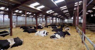 M. Stéphane Lecuyer (59), sa marque de fabrique, des vaches qui vieillissent dans un système simplifié.
